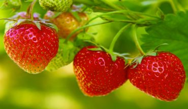The Hippocratic Post - strawberries
